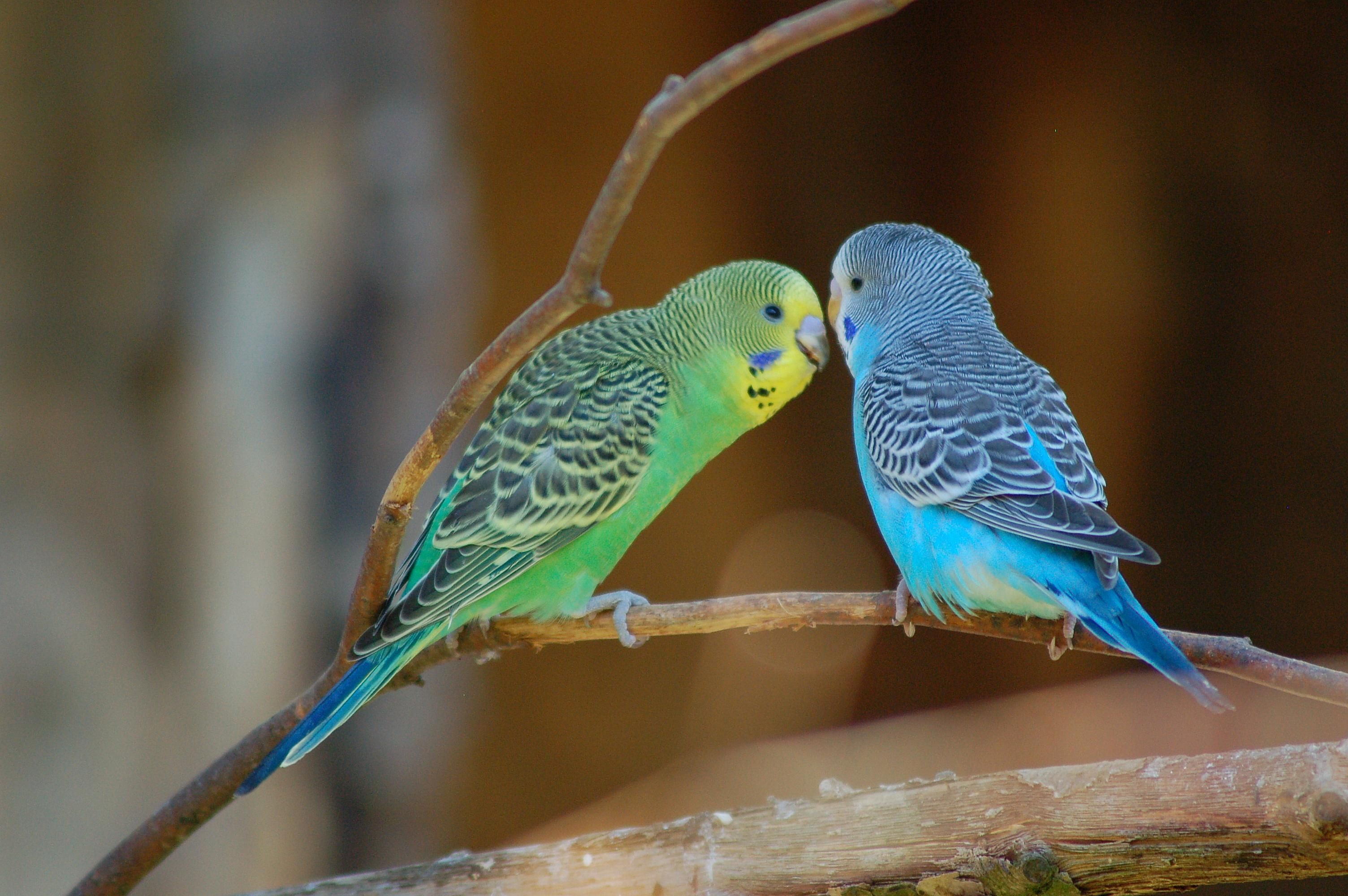 Are Parakeets A Type Of Parrot In 2020 Best Pet Birds Pet Birds Budgerigar