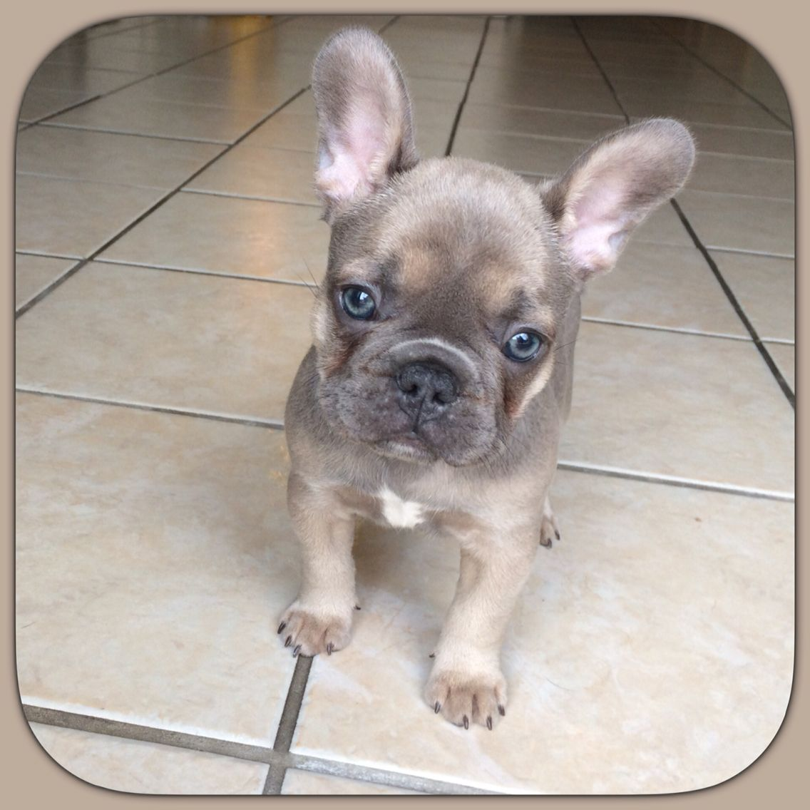 'Cora', a Blue Fawn French Bulldog, frenchie french