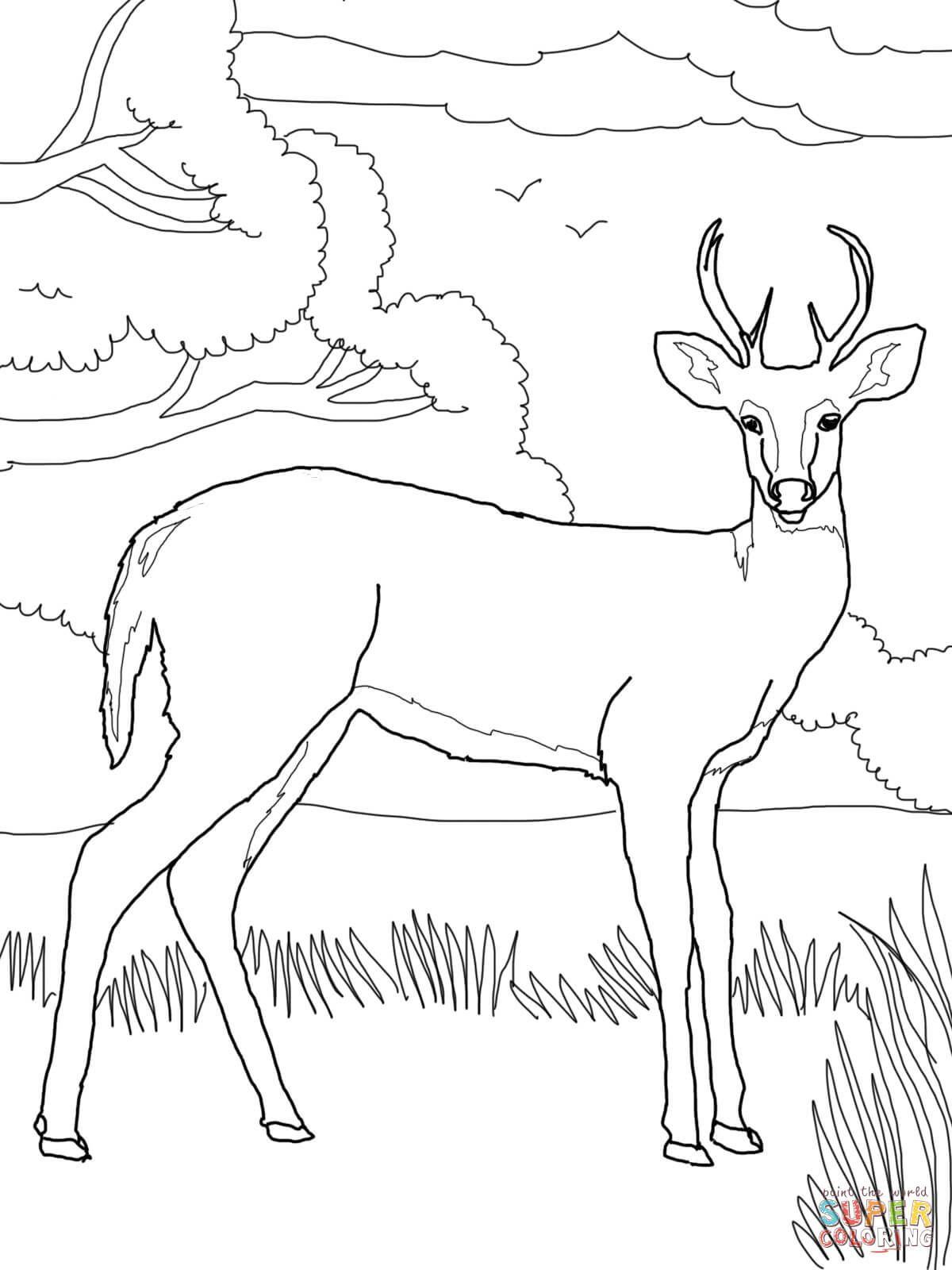 Whitetail Deer Coloring Page Free Printable Coloring Pages Deer Coloring Pages Coloring Pages Free Printable Coloring Pages