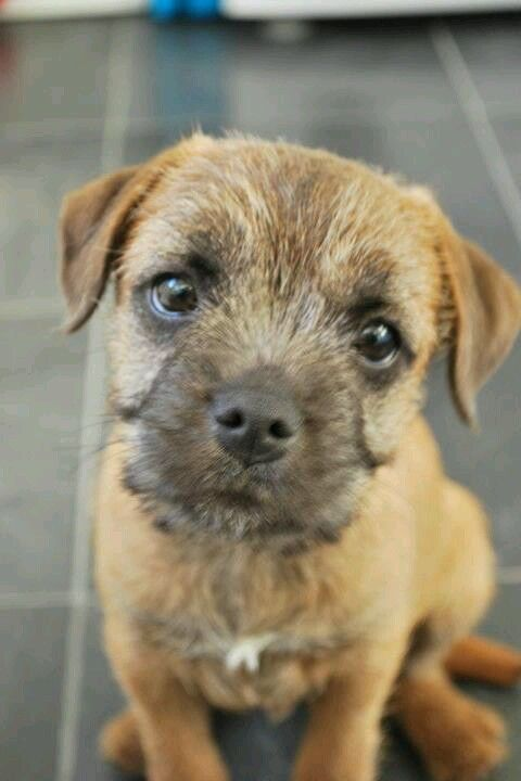 Pin By Alex Irvine On My Dave Border Terrier Border Terrier