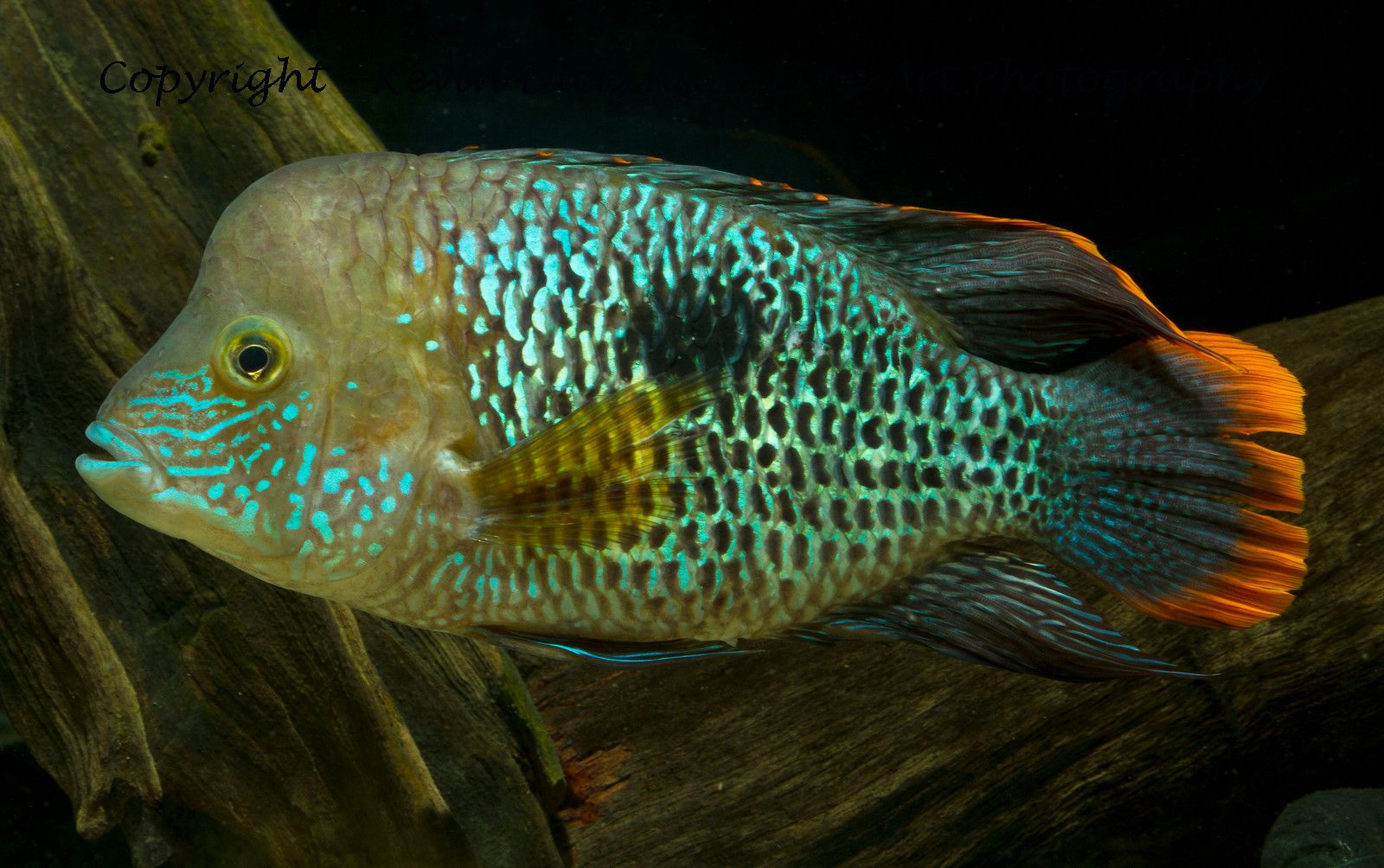 New world cichlids of the americas kevin dickinson fine for Most aggressive freshwater fish