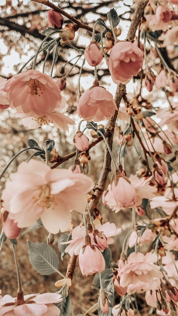 blossom pink #sunflowerwallpaper