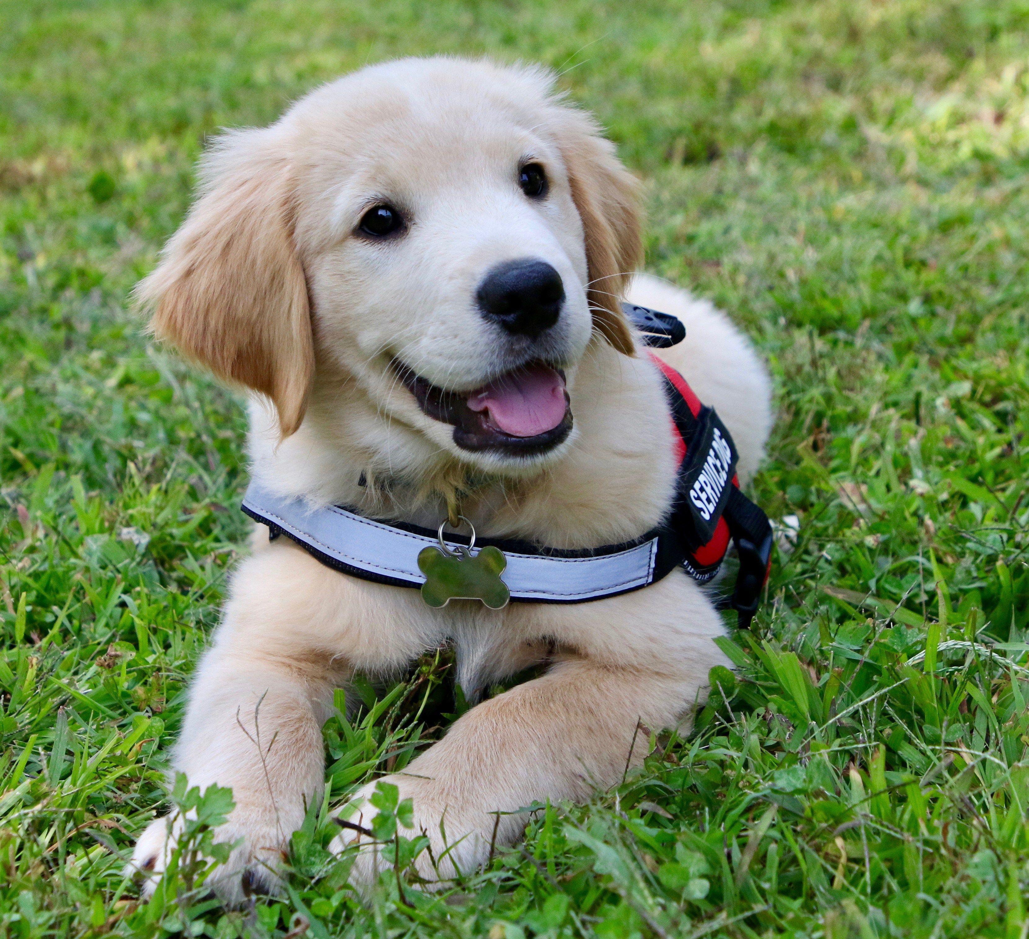 Cute Dog Service Dog Training Service Dogs Dog Training