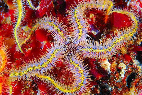 Ophiothrix spiculata, Spiny #brittlestar; Photo by Mike # ...
