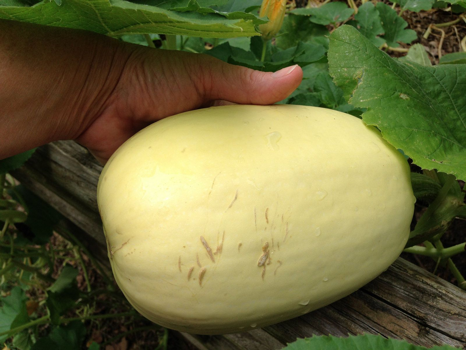 If You Have Varying Results When Growing Spaghetti Squash Like Fruit That Doesn T Seem To Be Quit Growing Spaghetti Squash Spaghetti Squash Plant Squash Plant