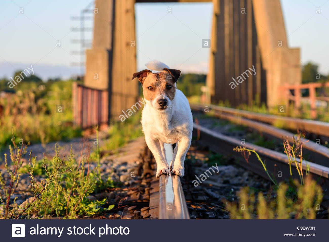 Three Stray Dogs Go Through The Railroad Tracks Stock
