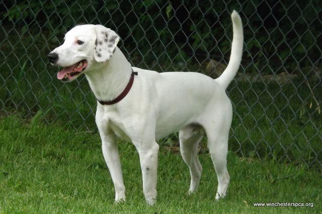 Bentley M Dalmatian Hound Mix Dogs Pets Bentley