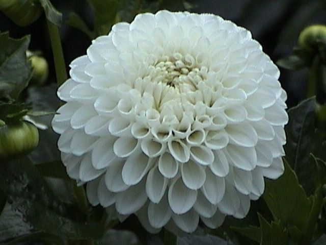 White Knight White 6 00 Endless Summer Flowers Flower Farm Dahlia