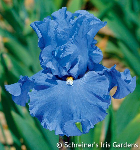 All About Blue A C Iris Garden Iris Flowers Beautiful Flowers