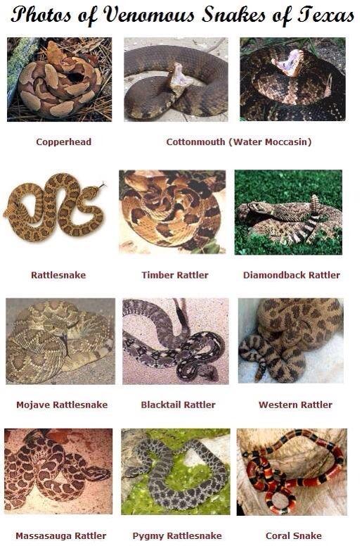 photos of venomous snakes of texas run just run