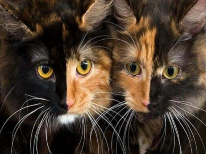 More chimera cats =* . *=                and dogs XP      from here!
