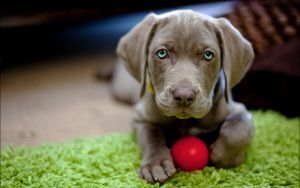 Preview wallpaper dog, puppy, snout, ball, toy