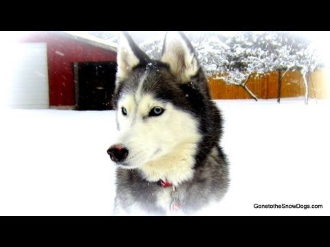 We Will Miss You Shiloh Run Free Best Siberian Husky Ever