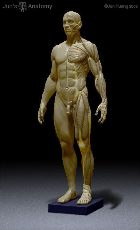 Human Male Anatomy Model 1/6th scale | Anatomy models, Anatomy and Scale