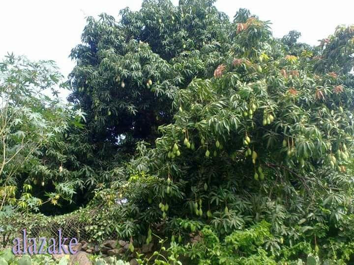 صور من بلادي اليمن المحويت شجرة المانجو Plants