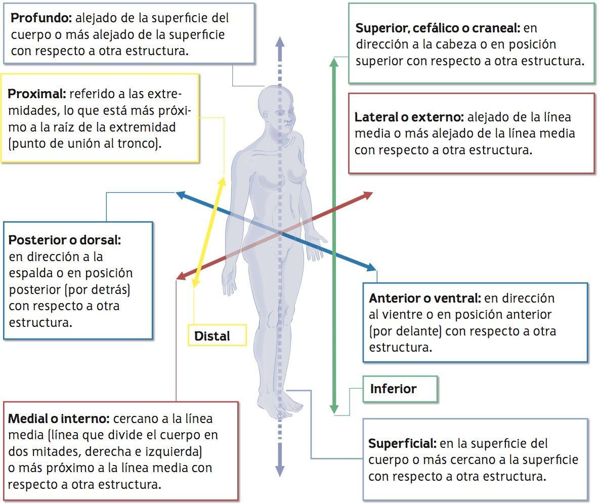 Resultado de imagen de direcciones anatomicas | Anatomía | Pinterest ...