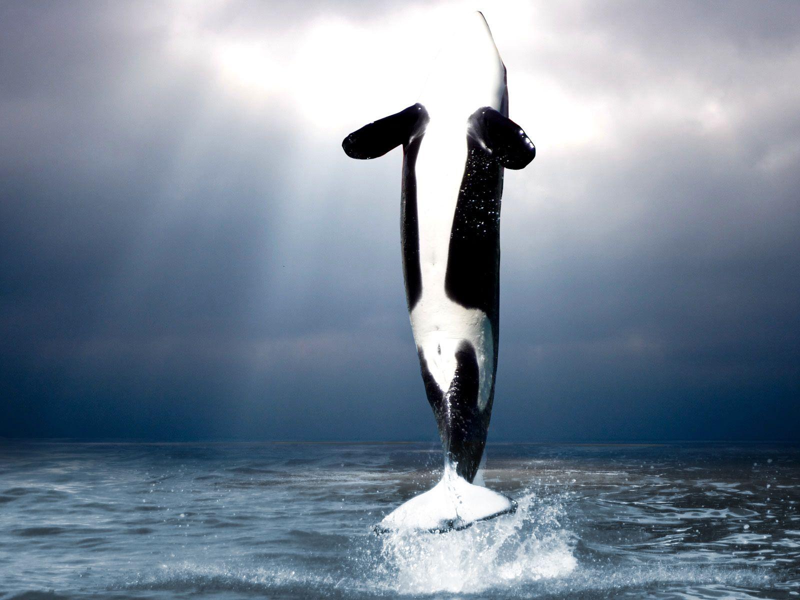 Dimensions 1600 X 1200 Fonds D Ecran Orques Whale Et