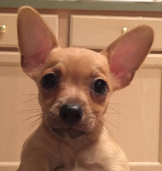 Adopt Bertha 3m On Baby Dachshund Chihuahua Dachshund Mix
