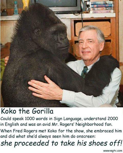 Mr Rogers Meets Koko The Gorilla Gorilla Sign Language Words Koko Gorilla