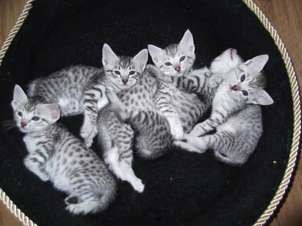 Silver Spotted Egyptian Mau Kittens Houghton Le Spring Tyne And Wear Pets4homes Egyptian Mau Egyptian Cats Kitten For Sale