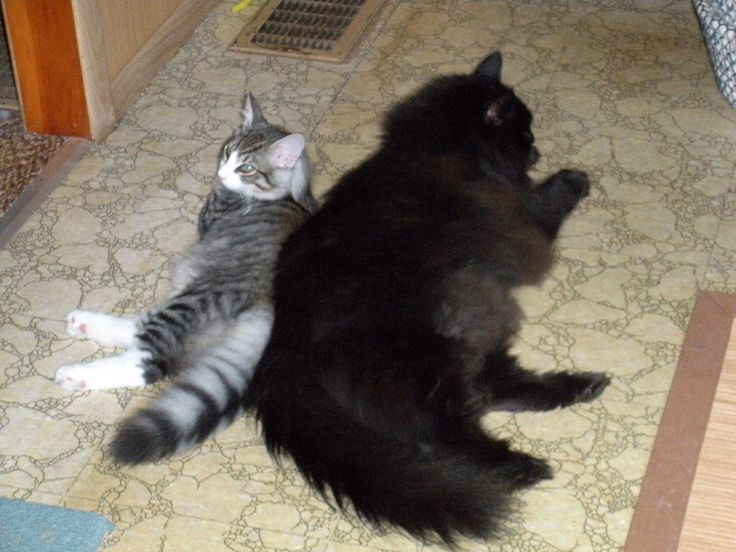 Norwegian Forest Cat Size Comparison Both About Full Grown Which Is Bigger Black Norwegian Or Other Norwegian Forest Cat Forest Cat Angora Cats