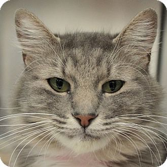 Las Vegas, NV - Domestic Mediumhair. Meet *PIXIE, a cat for adoption. http://www.adoptapet.com/pet/11806245-las-vegas-nevada-cat