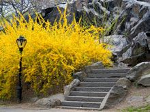 Forsythia ~ another shrub I would like as part of the border.  Goal is to have color year round!