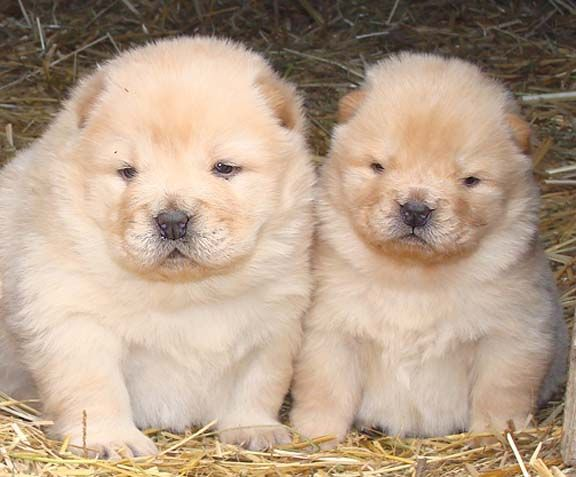Beshia Chow Chows Chow Chow Breeder Alberta Canada Shoes Chow