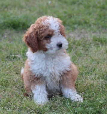 Houston Chronicle Classifieds Teddy Bear Dog Labradoodle Cute Animals