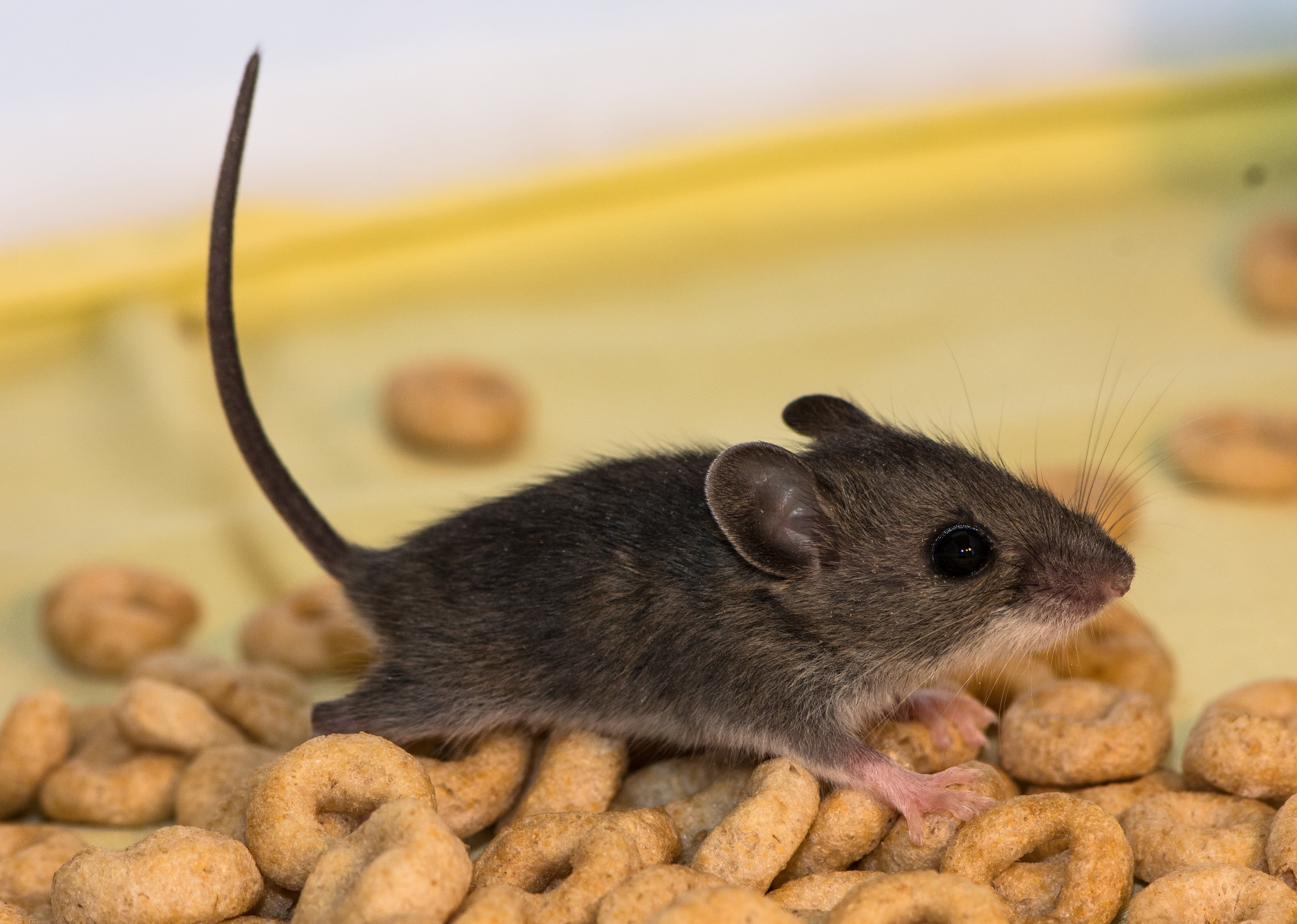 How To Help Get Rid Of Mice In The Kitchen Terminix Di 2020 Hidup Sehat Hidup