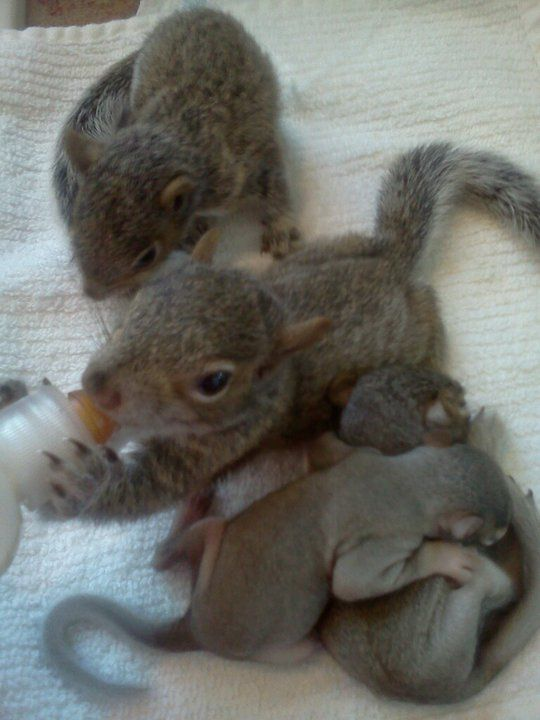 These baby squirrels make me miss rehabbing them after hurricanes in Florida <3