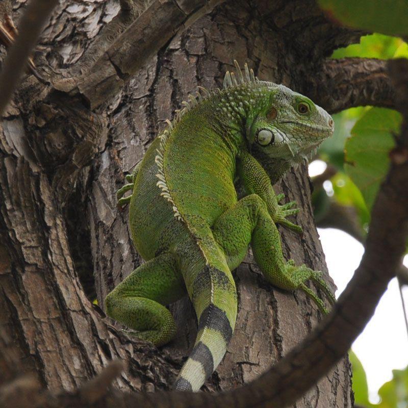 Nice 23 Interesting Facts About Iguana Https Meowlogy Com 2018 04 15 23 Interesting Facts About Iguana In Tamarindo There Are Iguana Pet Iguana Green Iguana