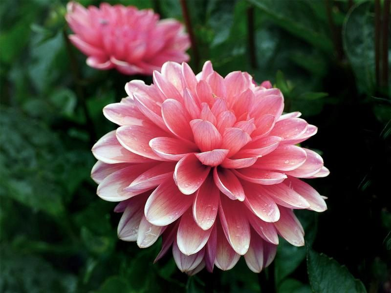 Because Dahlias Bloom From The Middle Of Summer Right Up Until Frost They Fit Well In Almost Every Garden W In 2020 Macro Flower Dahlia Flower Pictures Flower Images