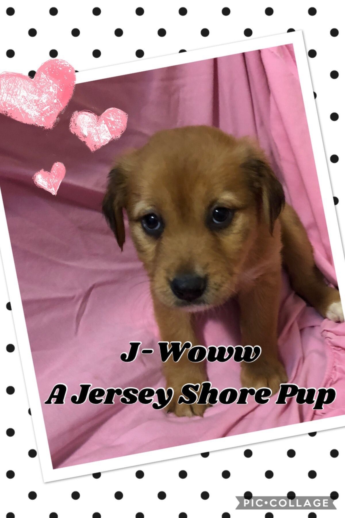 Adopt JWoww A jersey shore puppy on Miniature french