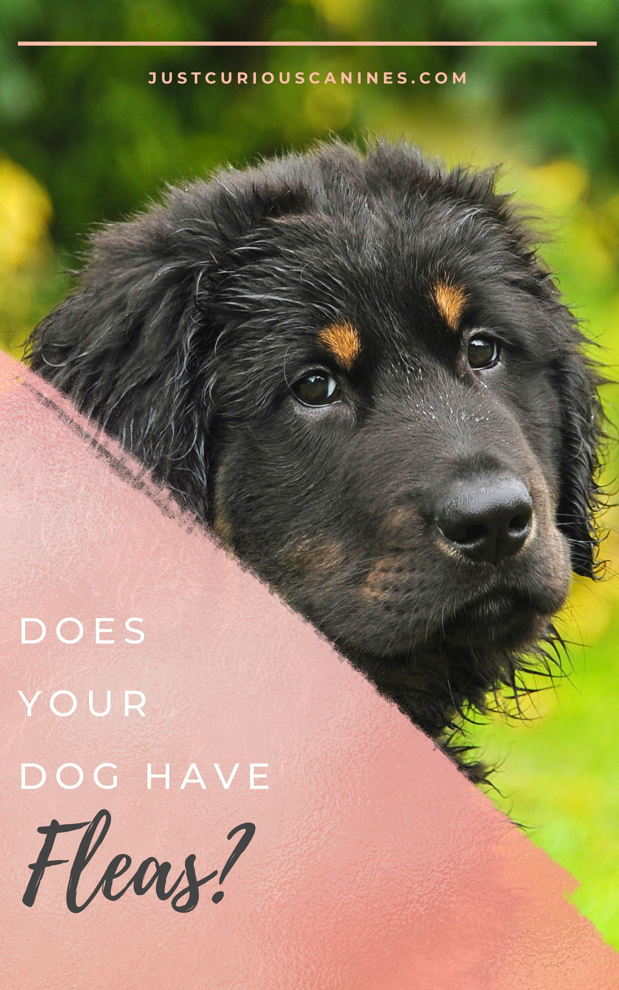 Does your dog have fleas your dog dogs dog enrichment