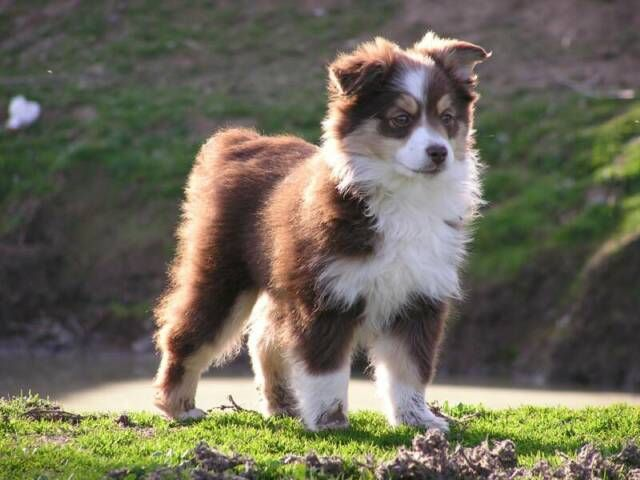 Miniature Australian Shepherd Dog Facts Aussie Puppies Cute Dogs