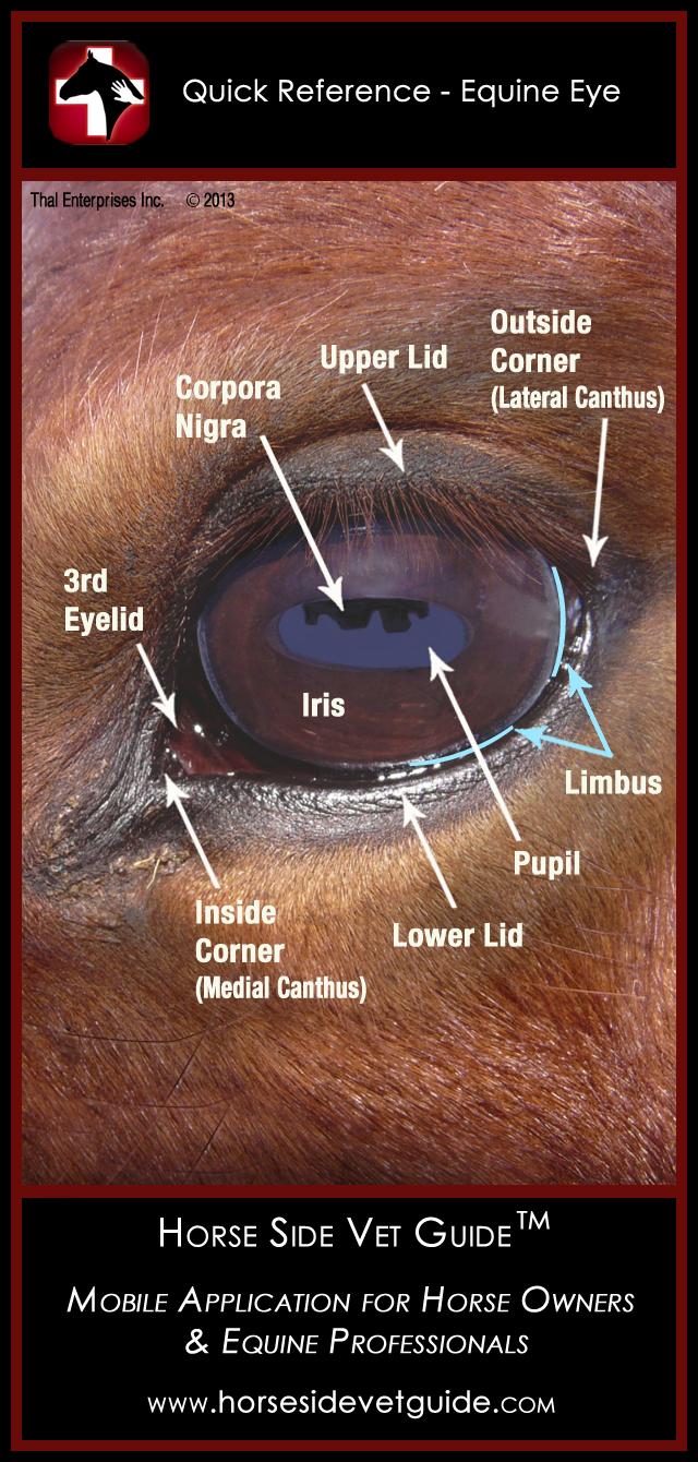 Equine anatomy - Wikipedia