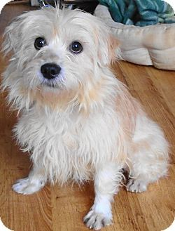 Pictures Of Burrito A Cairn Terrier Mix For Adoption In