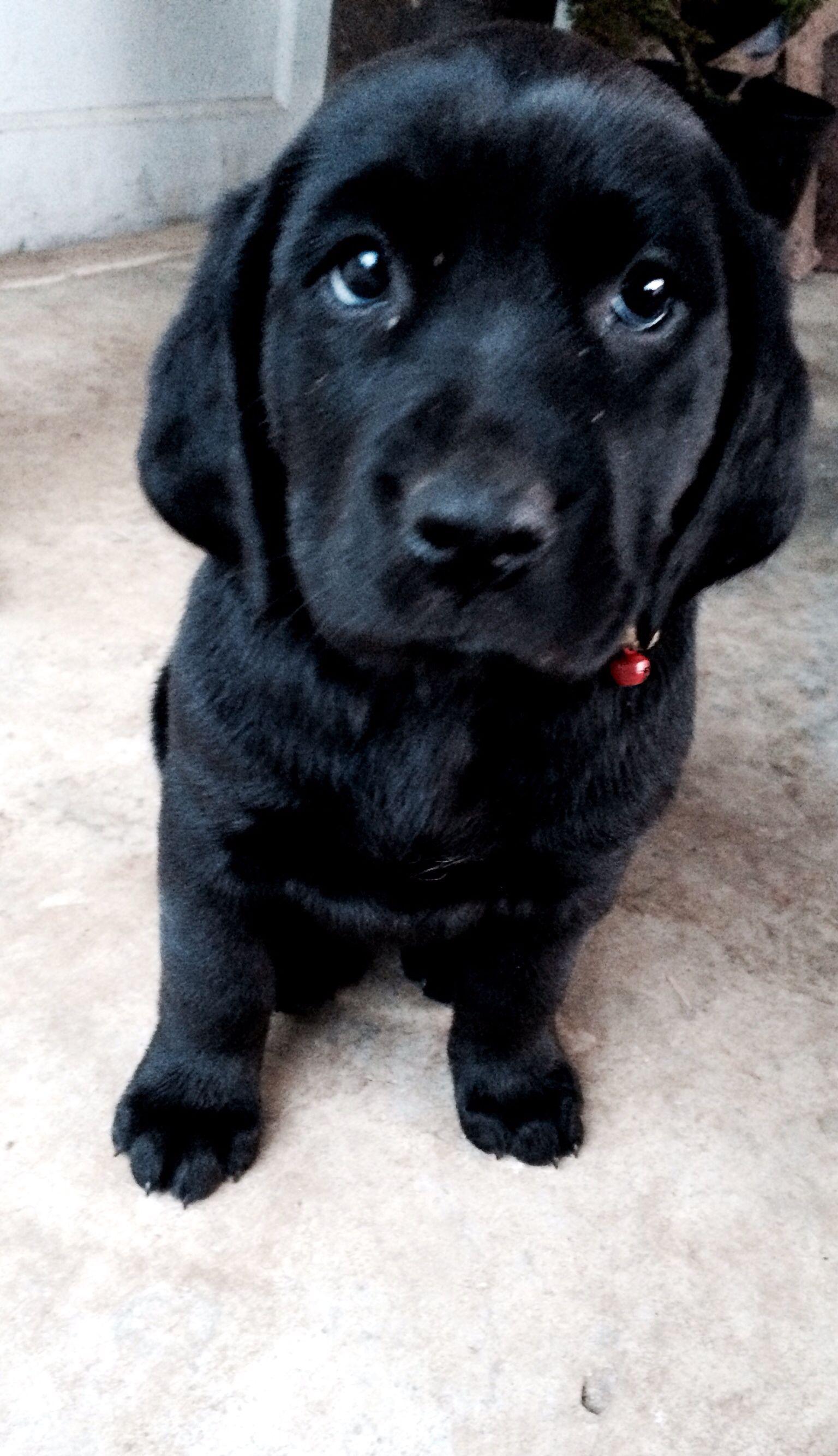 Labloodhound Labrador retriever bloodhound mix Puppy Puppies