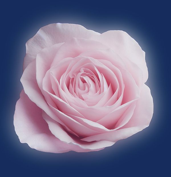 Soft and light pink rose on a blue background. Macro photography. Flower art. Choose a print with or without frames, a pillow, a bag, a pouch or a coffee mug :)