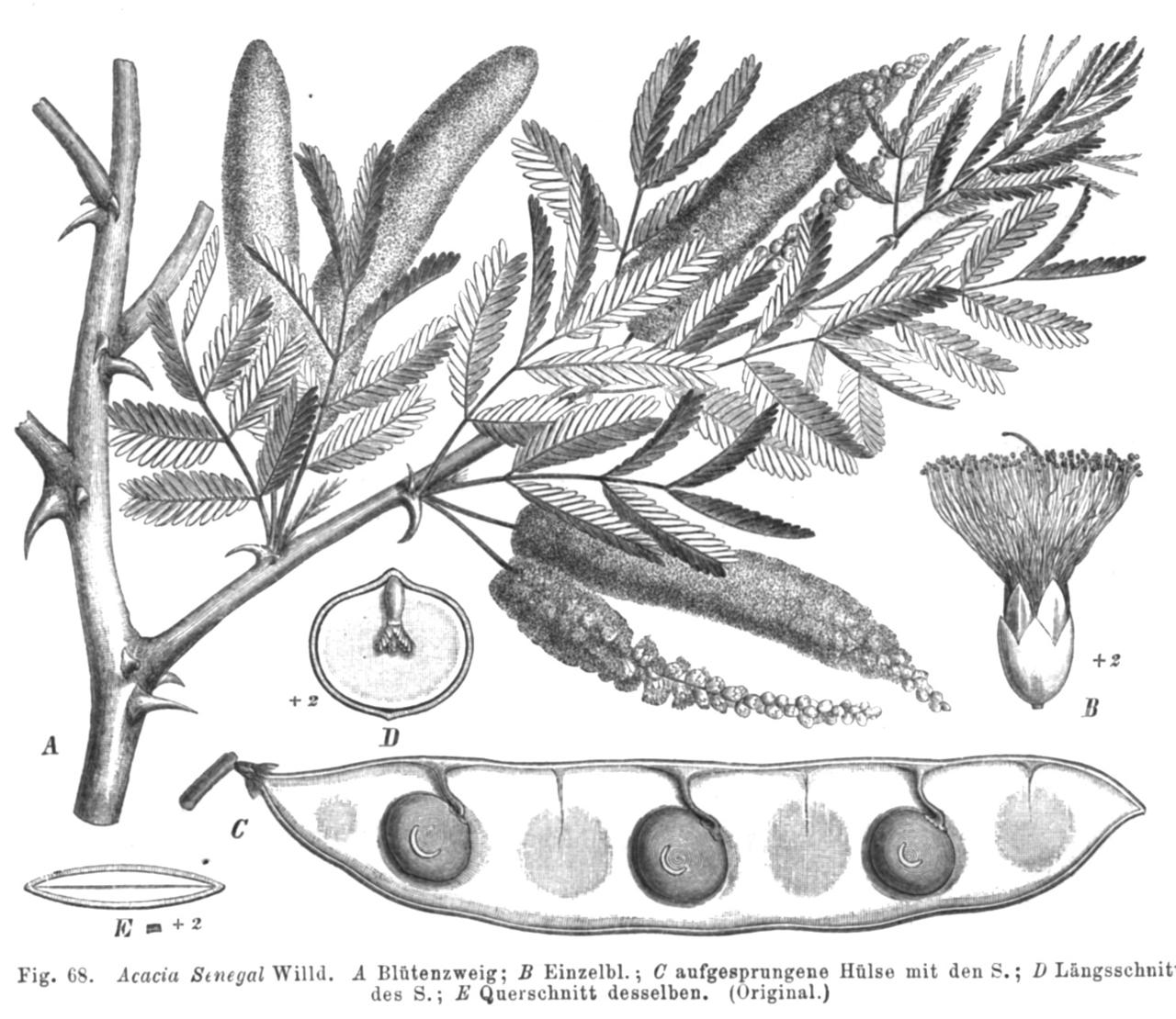 Acacia Senegal Taub68