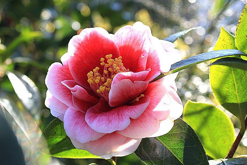 Camelia Tama Vino Flowers Photography Beautiful Flowers Camellia Flower