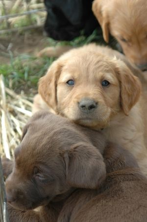 Chocolate Yellow Black Golden Retriever Puppies Oregon