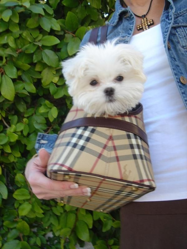 A Fashionable Way For A Maltese To Travel Puppies Maltese Puppy