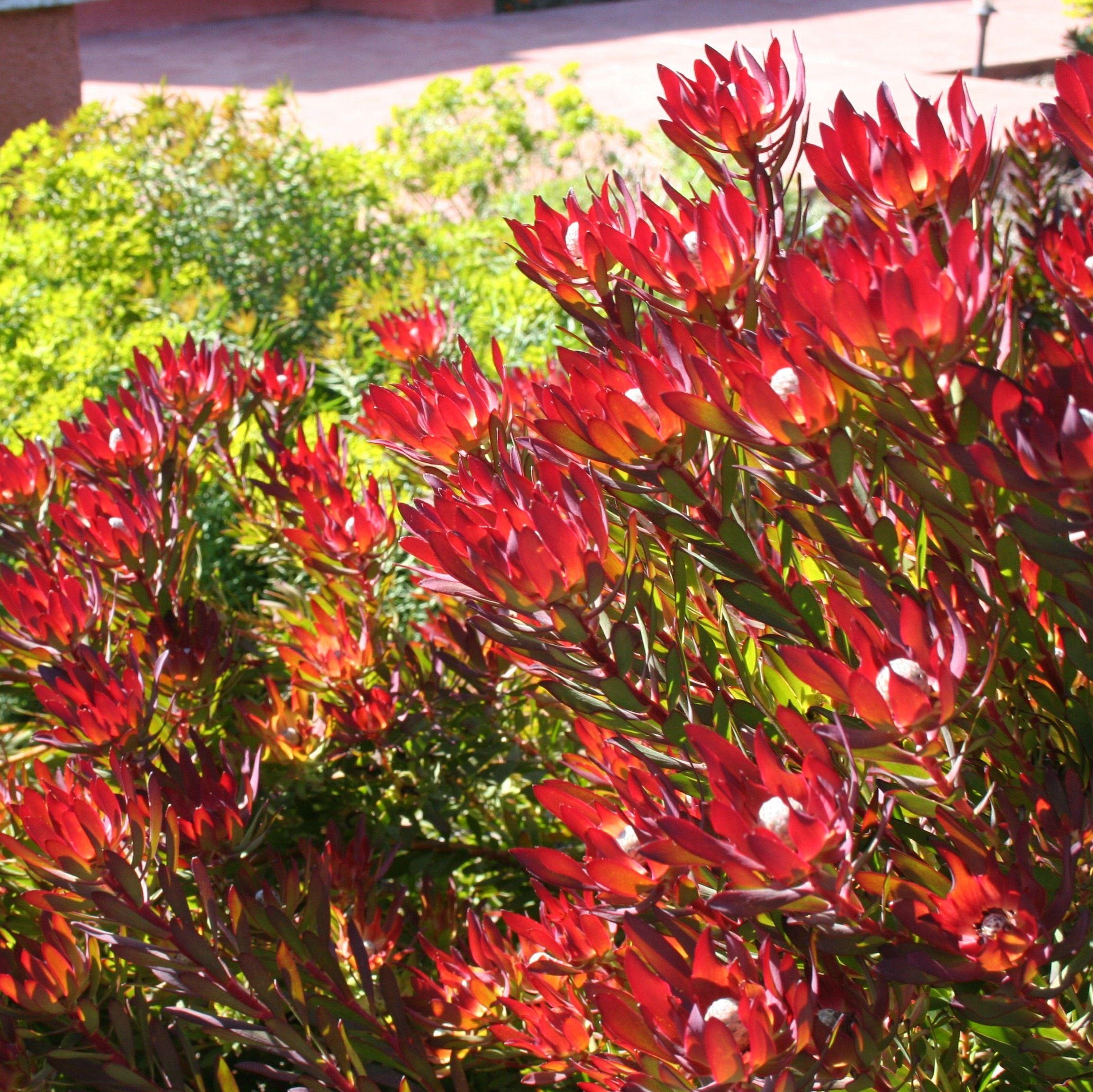 front leucadendron