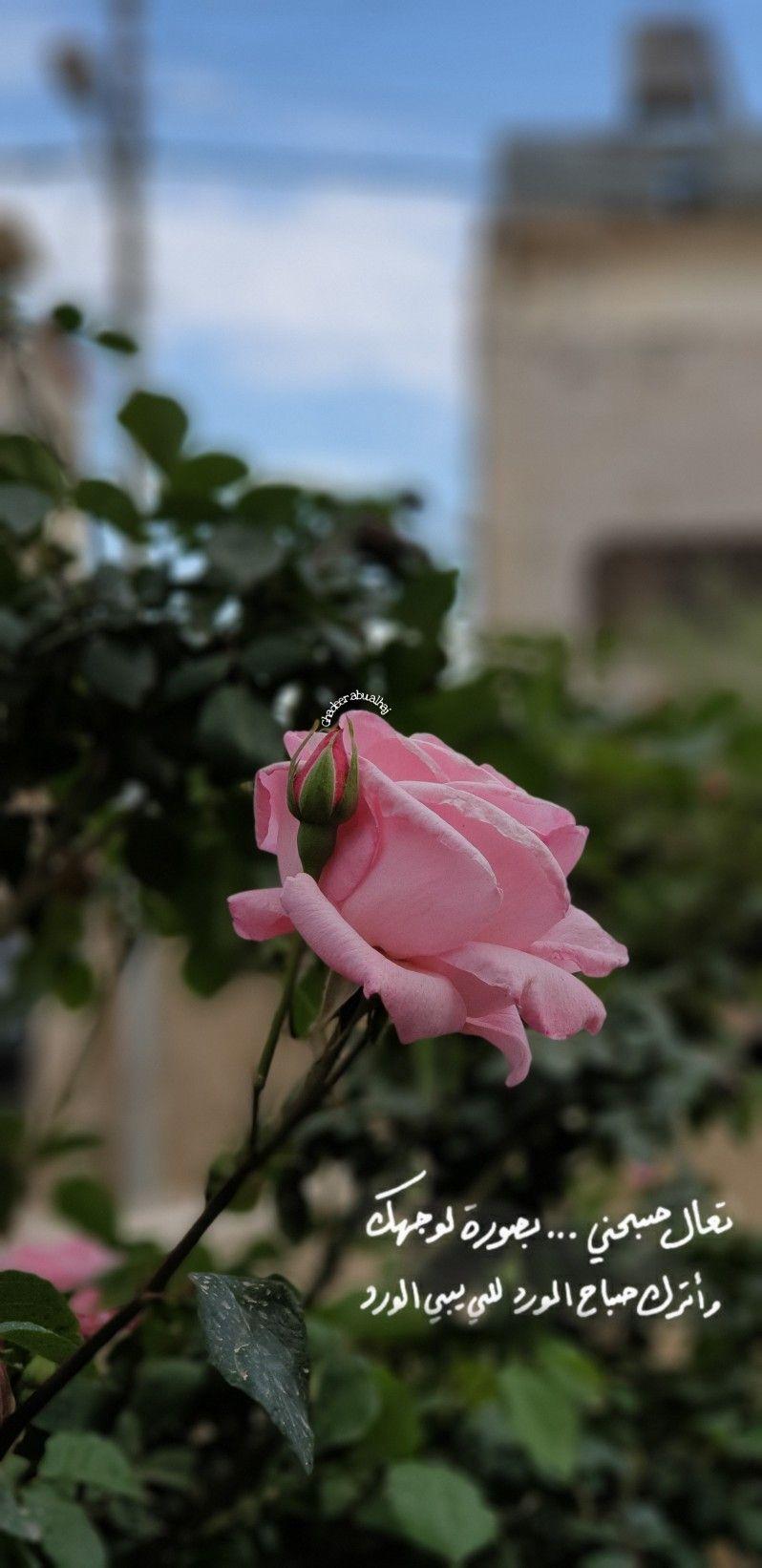 ورد صباحيات صباح الخير صباح الورد صور خلفيات اقتباسات كلام Daisy Art Rose Daisy