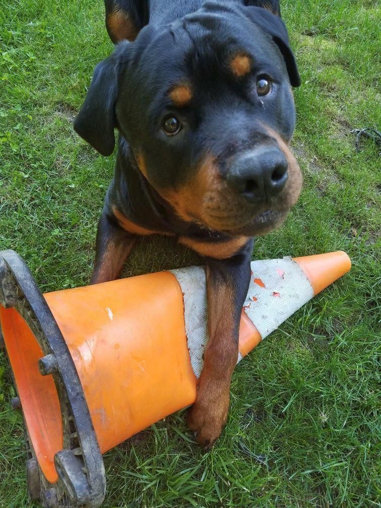 Everything About The Loyal Rottweiler Dogs Exercise Needs