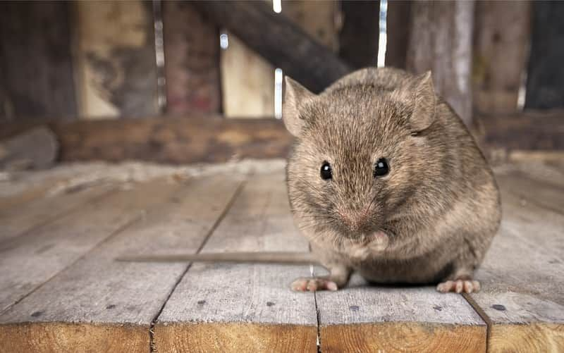 How to keep rats out of your attic terminix getting