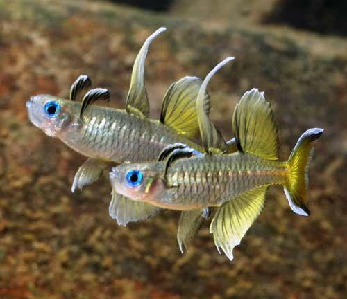 Pseudomugil signifer pazific blue eye for Live tropical fish