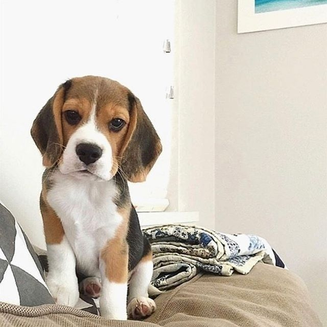 """""""What do you mean there's no treats left?! Next time she would buy 800 bags to keep this tragedy from ever happening again! 😓⠀ .⠀ . ⠀ Follow @beagle.hub for more!⠀ Follow @beagle.hub for more!⠀ .⠀ 📸 : @ludotaylorthebeagle ✨⠀ .⠀ .⠀ #beagles #beagle #beaglelove #beagledog #beaglehound #beagle_me #beaglechannel #beagleworld_feature #beaglegang #beaglemix #beaglepuppy #beaglelife #beaglesofinstagram #explorepage #explore #explorewithdogs⠀ great post from @beagle.hub⠀ . ⠀ . ⠀ ➡️ Follow @BeagleLover"""